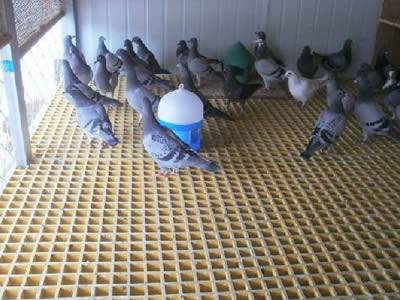 It show that in a pigeon house, several pigeons are standing on the yellow molded fiberglass gratings.